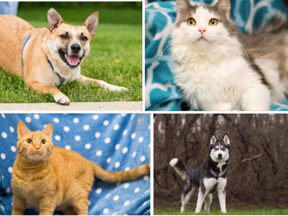 Adoptable Pets Collage